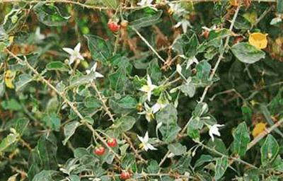 Hoạt chất mới phát hiện trong cây Cà gai leo có tác dụng điều trị viêm gan B.
