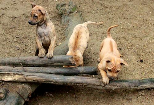 Giống chó Phú Quốc có dải lông mọc ngược ở lưng, dân gian gọi là xoáy. Ảnh: Hoàng Phương.