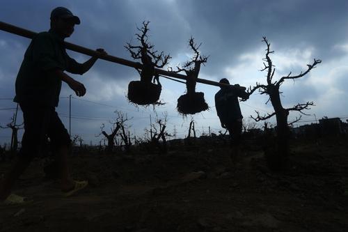 Những gốc đào cho thuê được đem đi trồng lại.