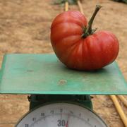Vườn cà chua mỗi trái nặng 1kg