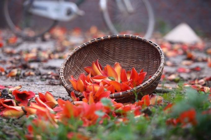 Hoa gạo đỏ rực làng quê Bắc Bộ