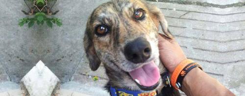 Chó bị đánh cắp và buôn lậu đến các lò mổ phần lớn là những chú chó bản địa, hay còn gọi là chó ta, chó cỏ. Ảnh: Soi Dog Foundation  Liên minh bảo vệ chó châu Á.
