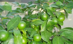 Chanh trồng trong chậu xanh tốt nhưng không có quả