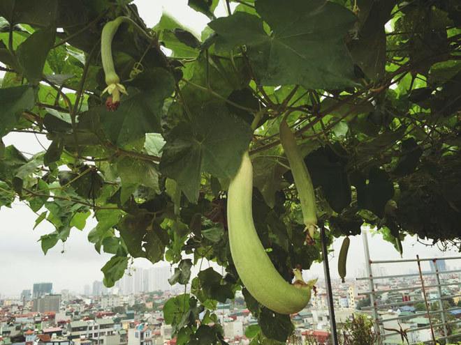 Gia đình Hà Nội 2 tháng liền phải ăn mướp nhà trồng ở sân thượng