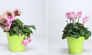 3 thứ không tốn tiền giúp chậu hoa héo lại tươi rói