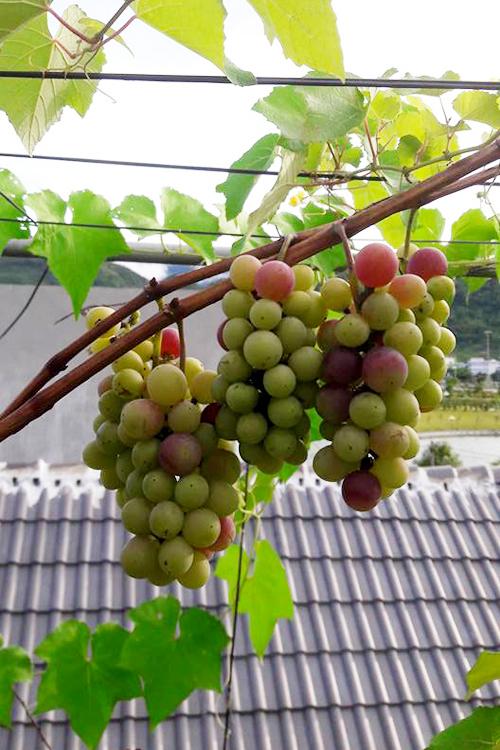 Vườn nho 'vỡ kế hoạch' trên mái nhà của gia đình Lai Châu