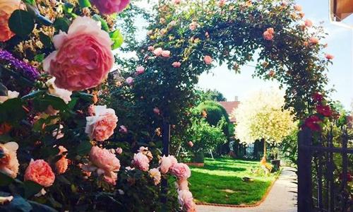 Cô chủ nhà hàng biến 600 m2 đất sỏi đá thành vườn hồng đủ màu
