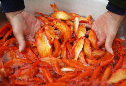Người miền Bắc thường cúng cá chép hay cá vàng ngày ông Táo. Ảnh: Ngọc Thành.