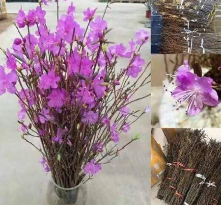 Loài hoa nhập khẩu từ Trung Quốc hot nhất dịp Tết này. Hoacó hình dáng như que củi khô nhưng khi cắm vào nước lại bung nở, nảy lộc sau khoảng 2 tuần.
