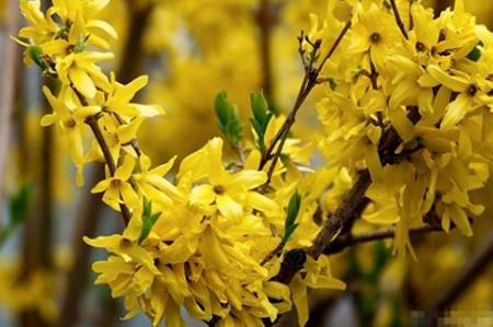 Mai Mỹ có màu vàng giống như mai vàng miền Nam nhưng cánh hoa to hơn, hoa mọc kín cả cành. Mai Mỹ được tách thành từng cành khoảng hơn 1m.