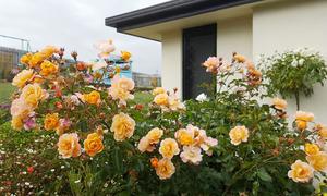 Thảm hoa đẹp như mơ quanh căn nhà giản dị của mẹ Việt