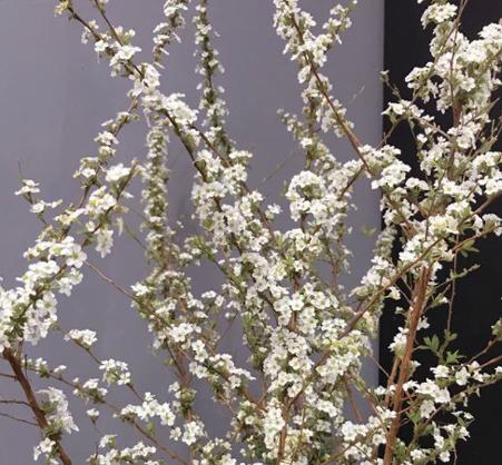 Tuyết mai là một trong những loại hoa nhập khẩuđược nhiều gia đình săn lùng nhất Tết năm nay. Từ những nụ chi chít sẽ nở ra hoa trắng như tuyết nên gọi là tuyết mai. Hoa cómùi thơm nhẹ thoang thoảng, dễ chịu.