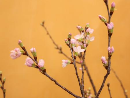 Anh đàođược nhập khẩu từ Nhật Bản, nhìn qua khá giống với đào Việt Nam nhưng cánh hoa màu phớt, nhiều nụ và hoa chi chít. Những cành hoa dài từ 1,2m đến 1,3m
