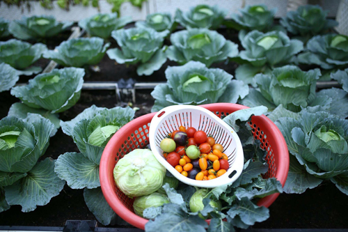 2 năm nay, gia đình anh không phải mua rau ngoài chợ, tất cả đều là thực phẩm sạch từ khu vườn trên cao.Mỗi ngày, anh Tuấn dành khoảng 2 giờ trước và sau khi đi làm để chăm sóc khu vườn.