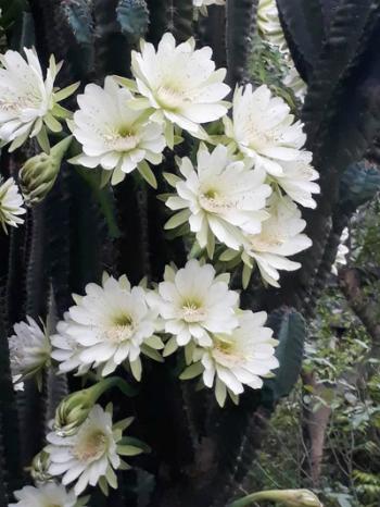 Những đóa hoa trắng nở dày đặc trên cây xương rồng gần 30 năm.