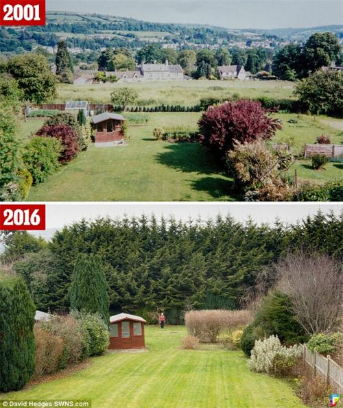 Hàng cây mà bà Vivian trồng lúc còn nhỏ (ảnh trên) và khi đã cao lớn sừng sững như dãy núi (ảnh dưới) sau 20 năm. Ảnh: SWNS.