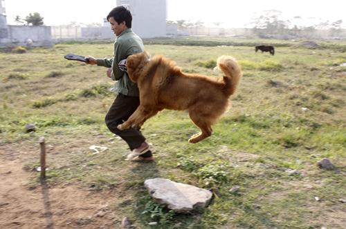 Chú chó ngao đang được huấn luyện tấn công kẻ thù, bảo vệ chủ nhân, giữ của... Ảnh: P.D.