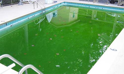 Nếu không có hệ thống lọc nước tốt, vệ sinh định kỳ, bể sẽ bị tảo, rêu mốc. Ảnh minh họa: SPT.