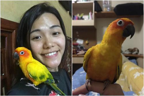 Con vẹt này là quà ông Yu tặng con gái và đã được nuôi trong nhà 7 năm. Ảnh:Straits Times.