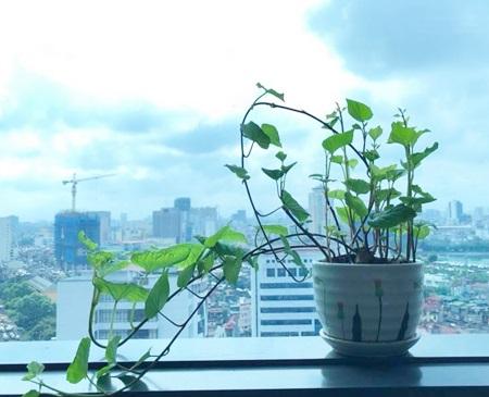 Anh Thành Trung, ở Hà Nội, cho hay anh và đồng nghiệp trồng được gần một tháng. Lúc đầu trồng trong đất, sau đó mới đưa vào nước. Vì củ khoai to quá nên mọi người phải cắt làm đôi để vừa với bình.