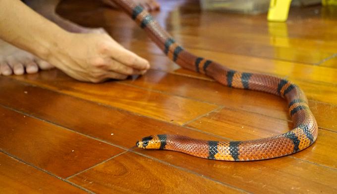 Chàng trai Hà Nội 10 năm nuôi rắn làm thú cưng