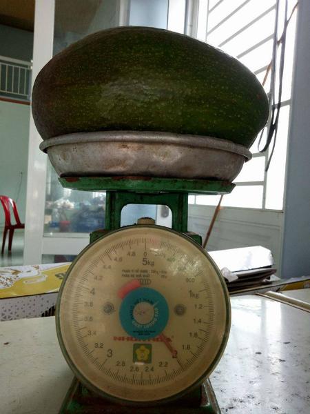 Một quả bơ Thành Bích có thể nặng tới 2kg - Ảnh: Quang Trung