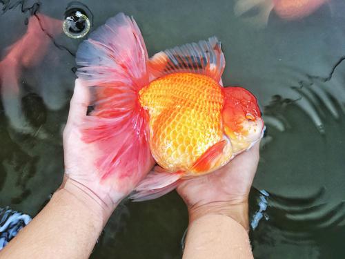 Phát nuôi được những chú cá vàng to, vàng sậm nhờ chế độ ăn và ánh sáng. Ảnh: NVCC.