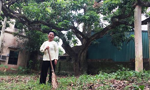 Để bảo vệ cây nhãn cổ, gia đình cụ Cước (thôn Đại Tảo, xã Đại Thành, Quốc Oai, Hà Nội)làm 4 trụ bê trông đỡ các cành. Ảnh: P.D.