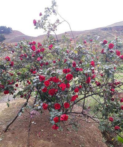 Cây hồng cổ được Hà Văn Lương chăm sóc từ khi còn nhỏ xíu.