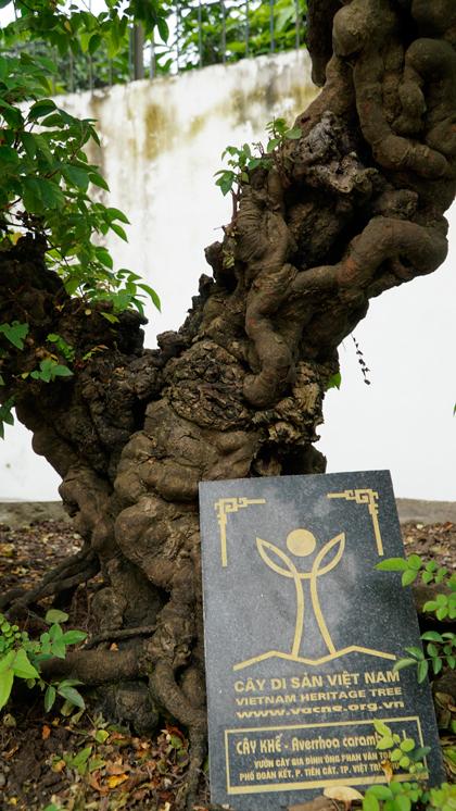 Cây khế có tuổi đời hơn 300 năm,được giới chơi cây cảnh cho là do vua Gia Long trồng. Để mua được, ông Toàn đã dành hàng tháng trời ởTiền Giang đến khi thân thiết với chủ cây mới mua được. Ảnh: Trọng Nghĩa.