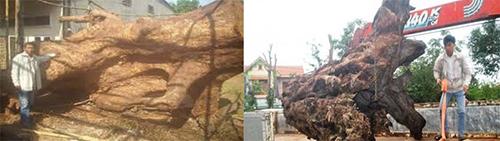 Đểmang được những khúc gỗ mục khổng lồvề nhà,anh Thành và Kết phải kéo gỗ bằng xe tải từ sâu trong rừng. Ảnh: NVCC.