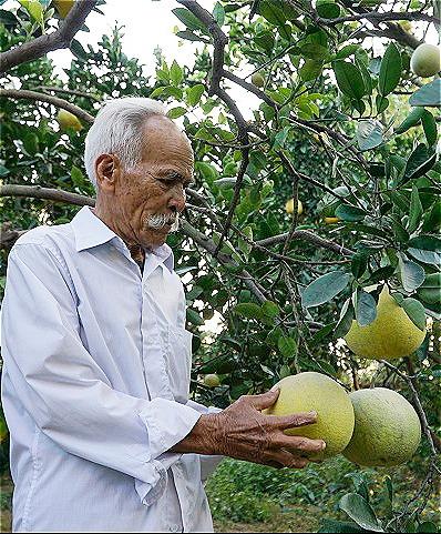 Về già, ông Kính sống nhờ vườn bưởi. Ảnh: Trọng Nghĩa.