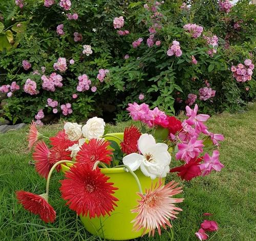 Ngoài rau cỏ, trái cây, cô Tâm còn trồng nhiều loại hoa trong vườn như hồng, đồng tiền, cúc...