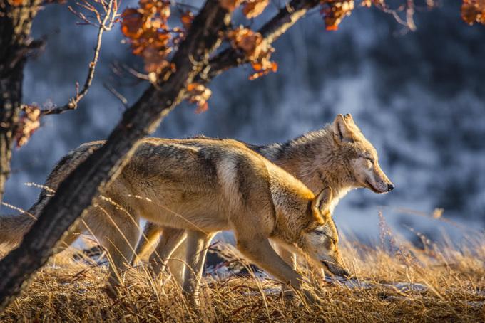 Cô gái nuôi 8 con sói, 3 người bạn trai chia tay vì sợ