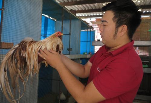 Một chú gà đoạt hoa vương sẽ có giá bán dao động từ 70-150 triệu đồng/con. Ảnh: Phan Thân.