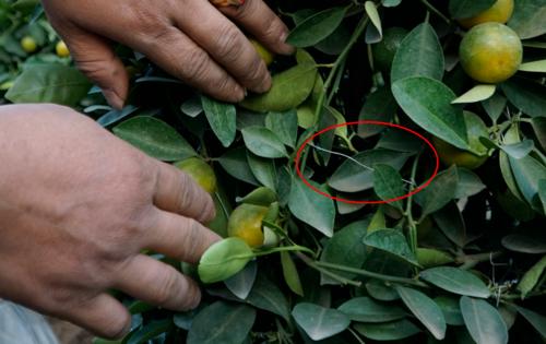 Để tạo thành hình dáng lộc bình, nghệ nhân cây cảnh phải thực hiện hàng trăm mấu nối (khoanhđỏ). Ảnh: Trọng Nghĩa.