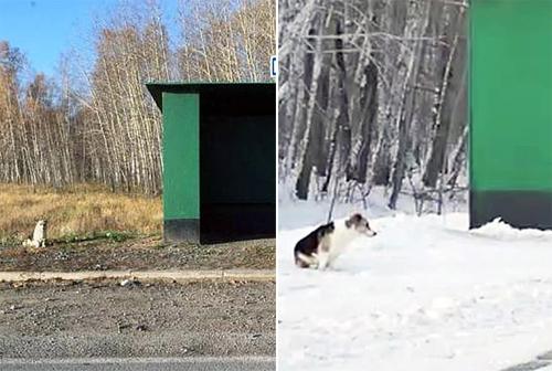 Nó đợi từ mùa hè (trái) cho đến mùa đông mà chủ vẫn không tới, nhưng cương quyết không rời đi. Ảnh:The Siberian Times.