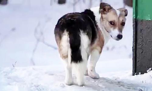 Con chó đợi chủ nhiều tuần qua trong tuyết trắng.The Siberian Times