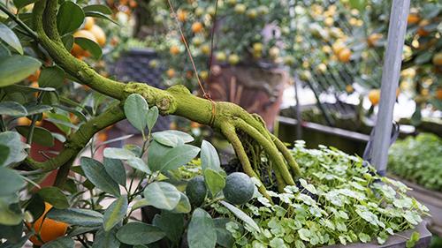 Cây quất dáng hoành (cành vuông góc thân) được trồng hơn 10 năm nhưng vẫn chưa được xuất bándù bộ rễ đã khá cứng cáp.Ảnh: Trọng Nghĩa.