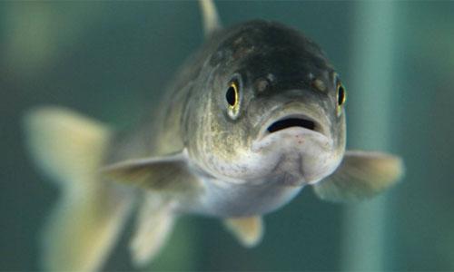 Cá Naked carp là loài đặc hữu của hồ Thanh Hải, được xếp vào sách đỏ của Trung Quốc. Ảnh: CCTV.