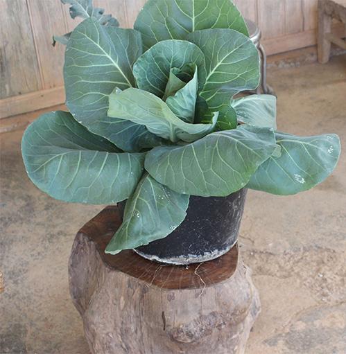 Một cây rau trồng trong châu có giá cao gấp 10 lần rau trồng đại trà. Ảnh: Quốc Dũng
