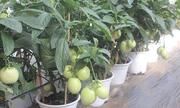 Cà chua, bắp cải... hóa thành cây cảnh Tết