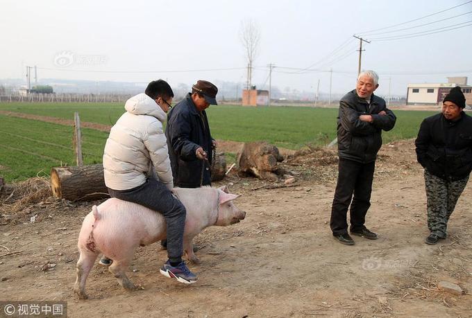 Bác nông dân dẫn cừu, lợn, gà vịt trong nhà đi diễn xiếc
