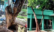 11 người cứu cây mục ruỗng trong Phủ Chủ tịch