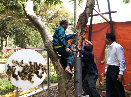 Nhóm cứu hộ sau khi khoét bỏ hết cácphần sâu, mục, thì lắp khung bên trong thân cây. Ảnh: Ngọc Nam.