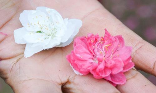 Cánh hoa bạch đào có phần ít hơn so với đào truyền thống, nhưng bên trong nhụy hoa dày đặc, có mùi hương thoang thoảng. Ảnh: Trọng Nghĩa.