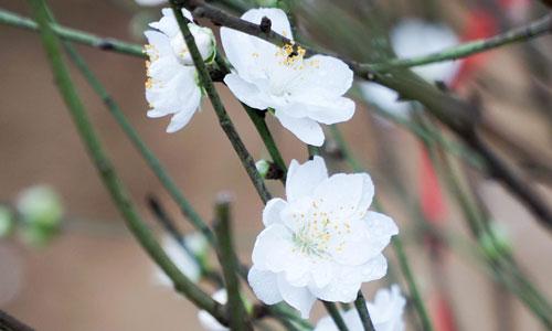 Thườngđào trắng chỉ ra hoa vào sau Tết vì ưa ấm, không chịu được lạnh, ngược lại với bích đào chỉ ưa lạnh. Do vậynhiều người dân bỏ trồng vì nản. Ảnh: Trọng Nghĩa.