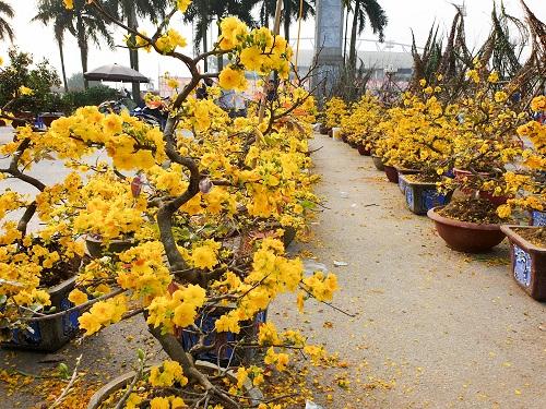 Những sai lầm khiến hoa mai không nở ở miền Bắc - 1