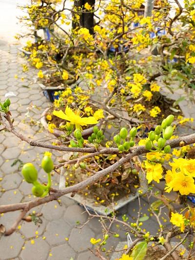 Những sai lầm khiến hoa mai không nở ở miền Bắc