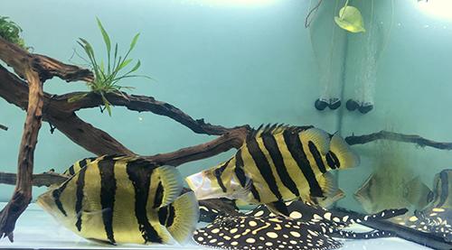 Cá đuối thường được nuôi chung với cá rồng vì tập tính săn mồi, những loại cá này đềucó giá thành đắt đỏ. Ảnh: NVCC.